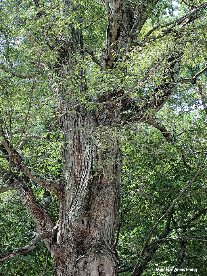 72-Old-Tree-Uxbridge-0807_093