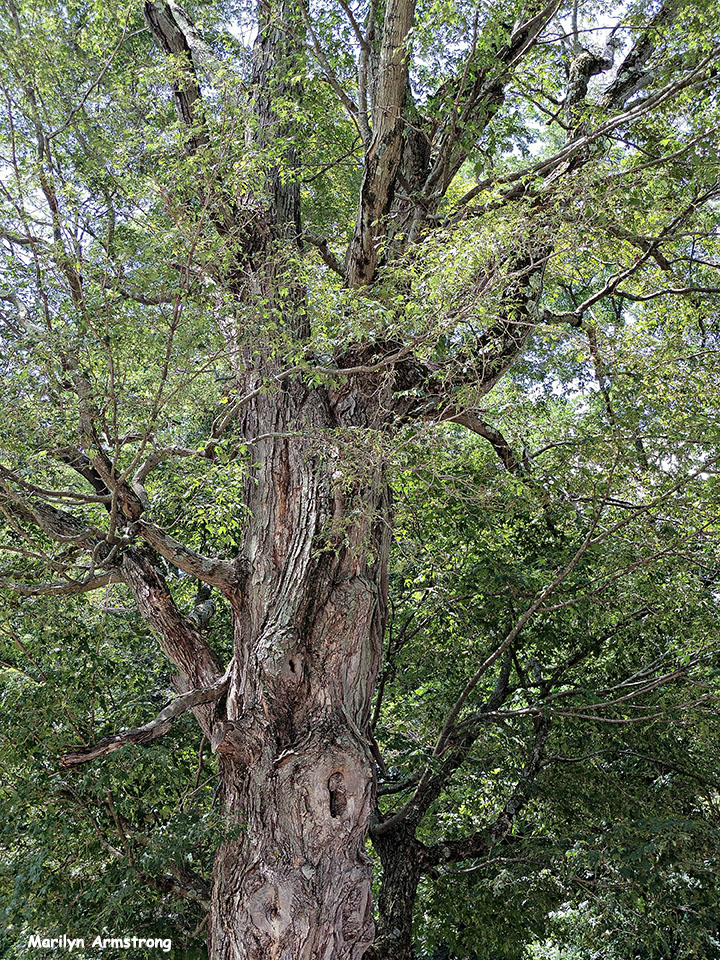 72-Old-Tree-Uxbridge-0807_094