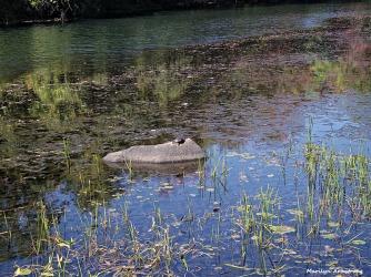 72-Turtle-Muimford-Dam-100615_041