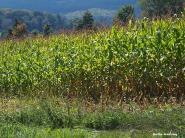 72-corn-is-ripe-0918_38