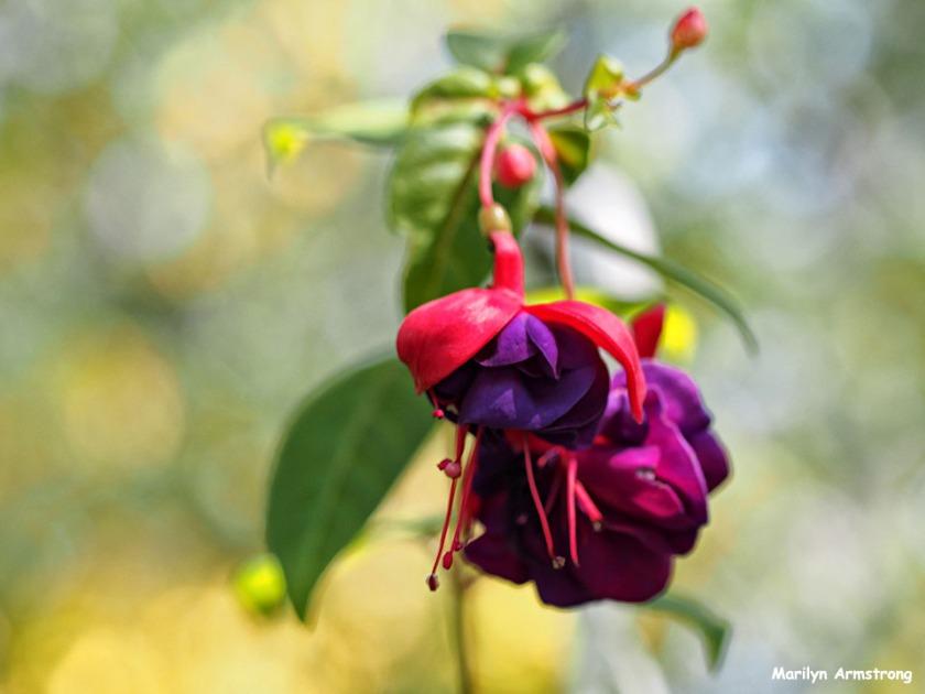 72-foliage-macro-fuchsia_06