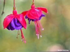 72-foliage-macro-fuchsia_09