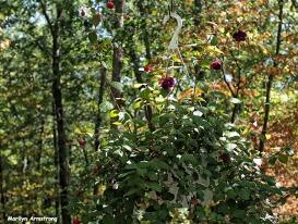72-fuchsia-foliage-sep9_231