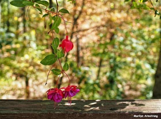 72-fuchsia-foliage-sep9_28