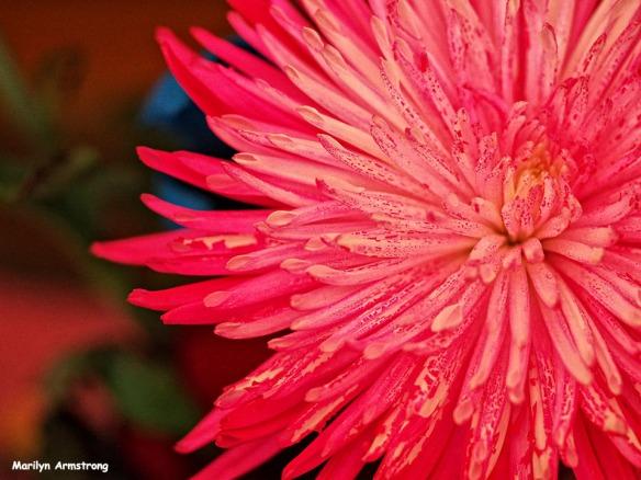The nost pink chrysanthemum