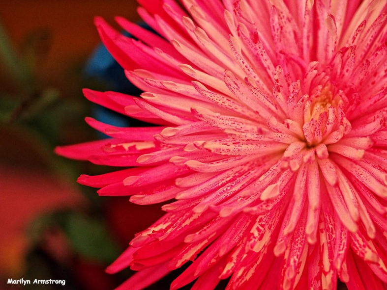 The nost pink chrysanthemum