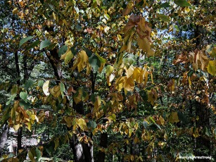 72-Yellow-Leaves-0905_38