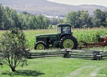 Growing corn being cut in the fall