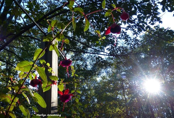72-Fuchsia-Sunshine-October-10_044