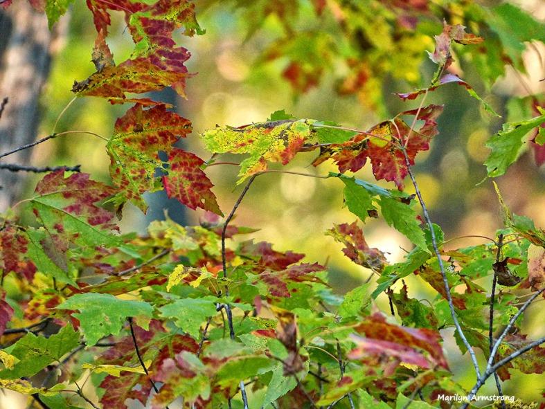 72-Maple-October-10_040