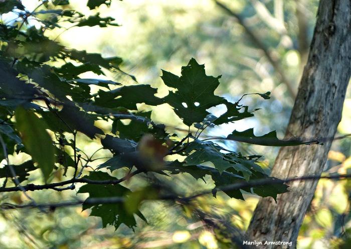 72-Oak-October-10_030