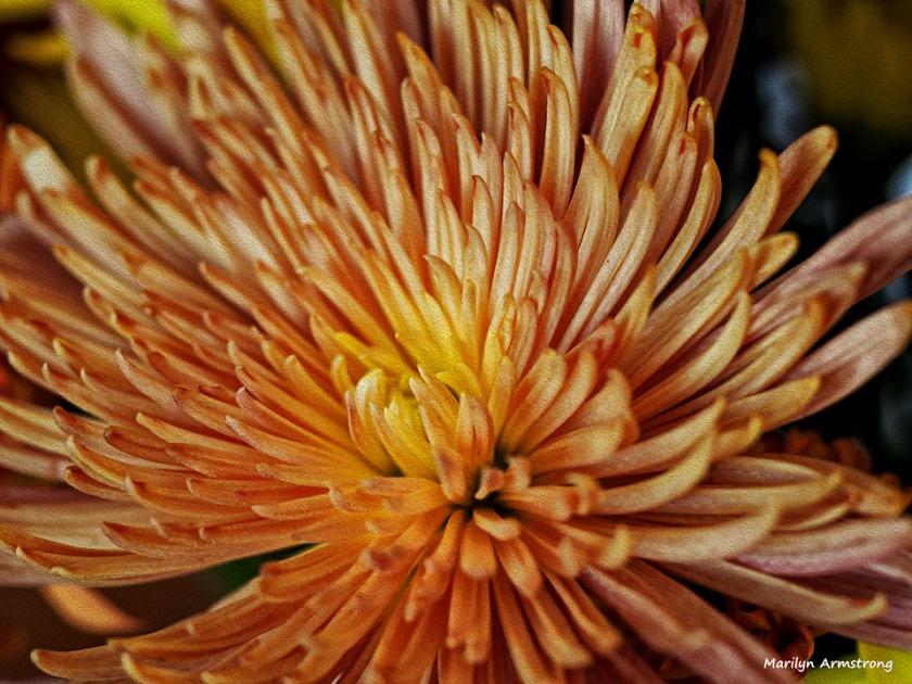 Chrysanthemum autumn