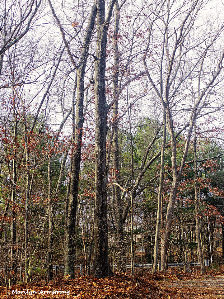 72-Bare-Trees-111415_07