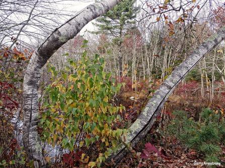 72-Birch-Autumn-Garry-1031_041