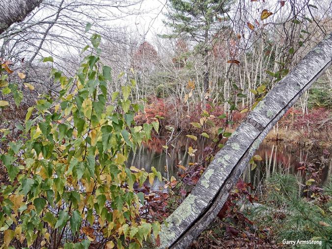 72-Birch-Autumn-Garry-1031_046