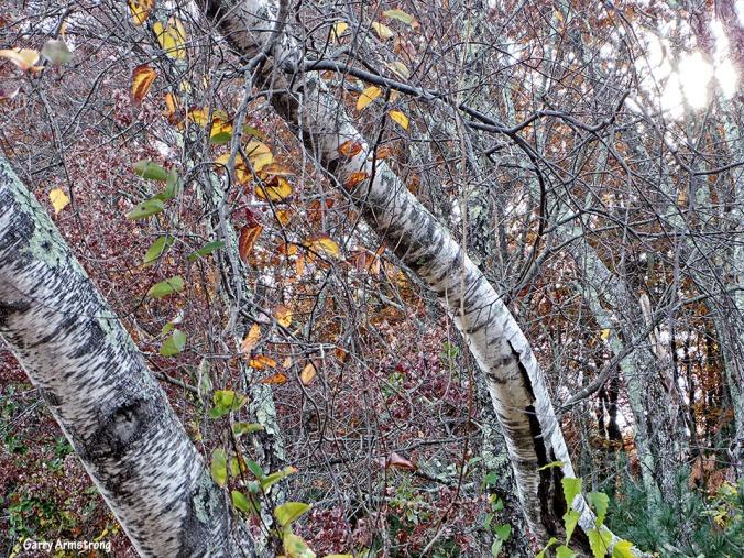 72-Birch-Autumn-Garry-1031_091