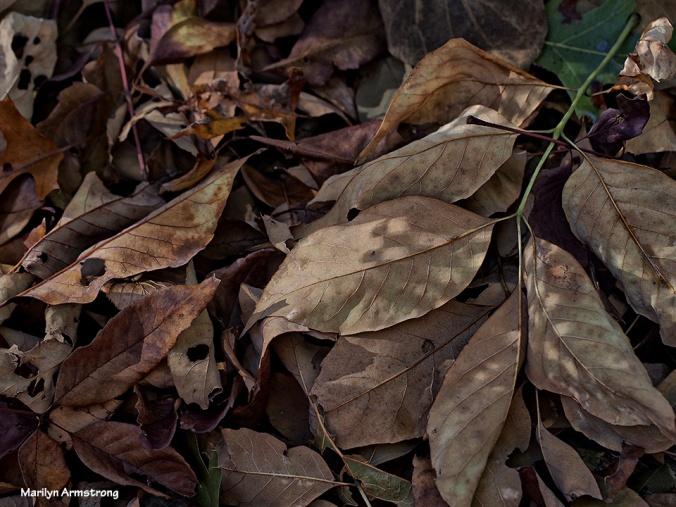 72-dry-leaves-112215_42