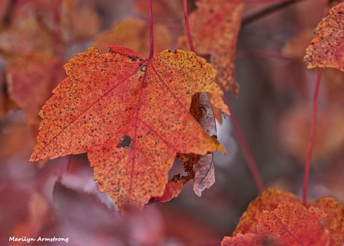 72-macro-maple-1031-new_017