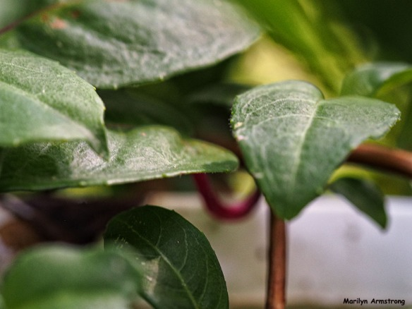 Leaves of fuchsia summer