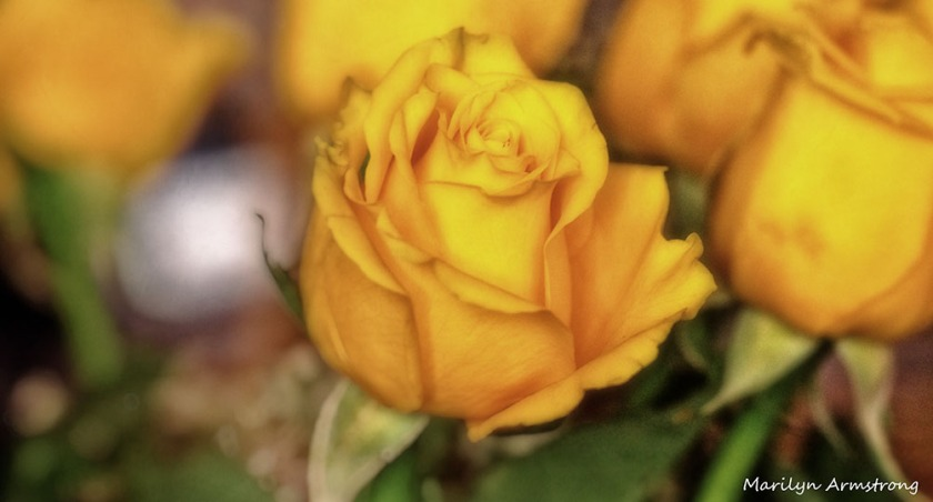 72-oo-yellow-roses-1104_039