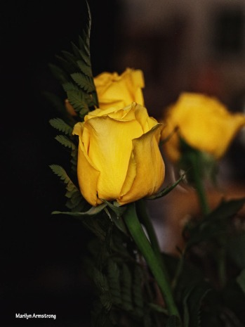 72-perfect-vert-yellow-roses-1104_037
