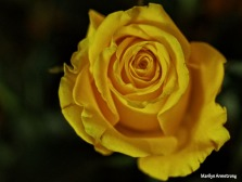 72-perfect-yellow-rose-1104_002