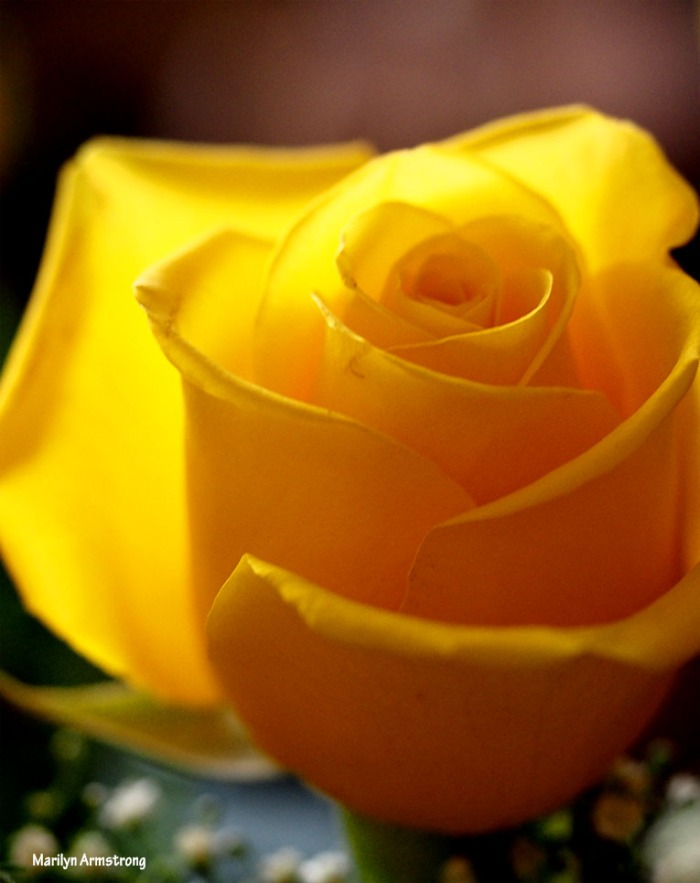 72-perfect-yellow-rose-1104_024