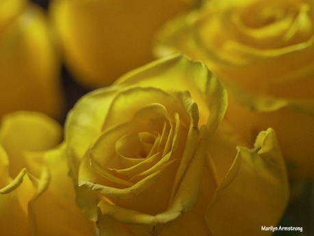 72-soft-yellow-roses-1104_009