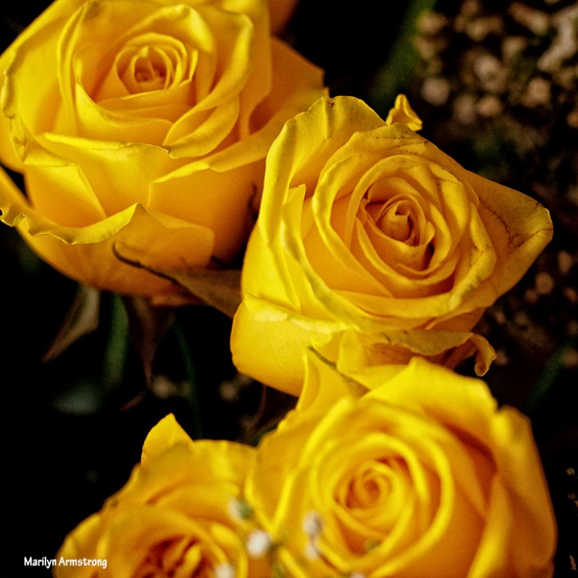 72-square-yellow-roses-1104_030