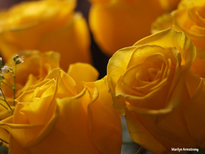 72-unprocessed-yellow-roses-1104_007