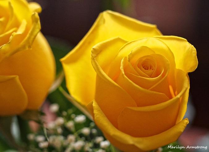 72-yellow-roses-1104_012