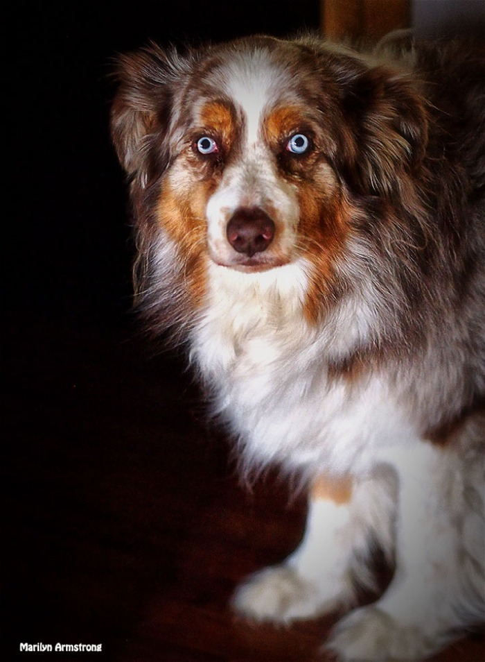Bishop, the Australian Shepherd