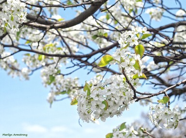 72-apple-blossoms-04292013_019
