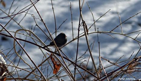 72-Bird-in-snow--01182016_04
