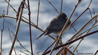 72-Bird-in-snow--01182016_08