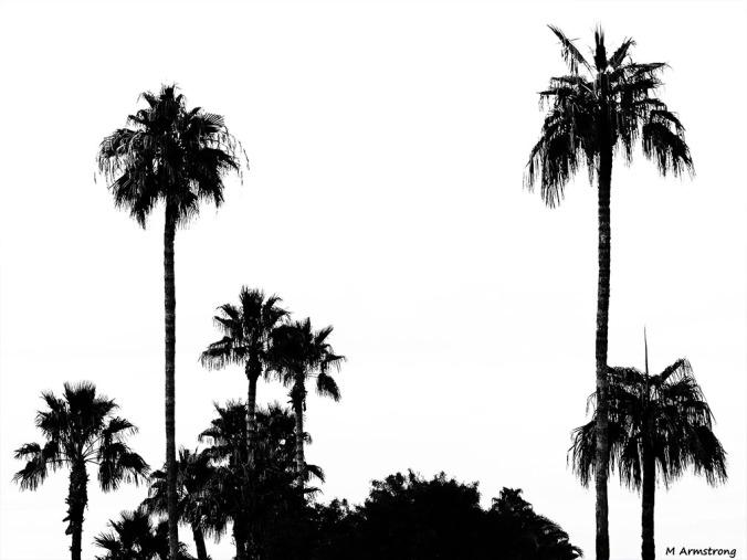 72-BW-Palm-Trees-MAR-Phoenix-Mountains-Sunset-01062015_208