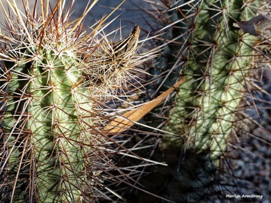 72-Cacti-MAR-Superstition-011316_120