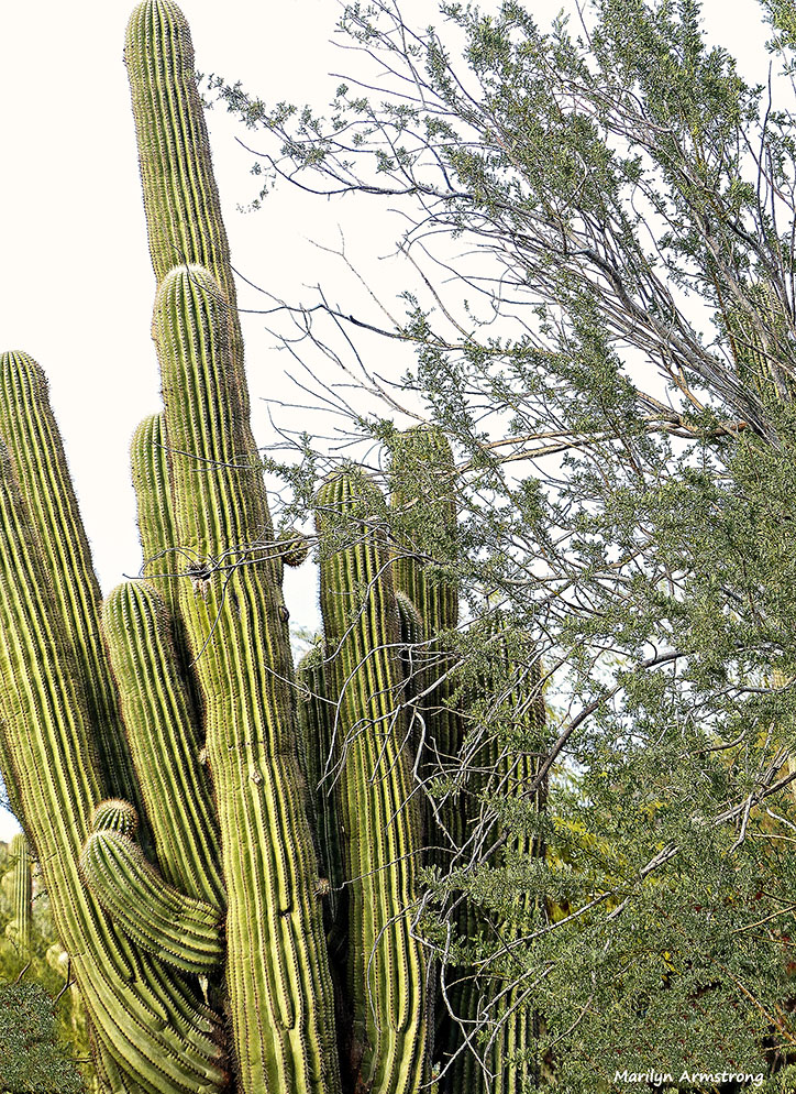 72-Cactus-MAR-Phoenix-Mountains-Afternoon-01062015_011