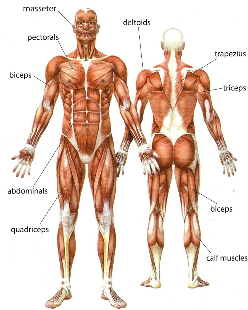 Human-Body-Muscles