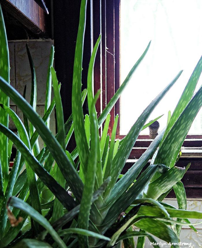 72-Aloe-Oddballs-030616_004