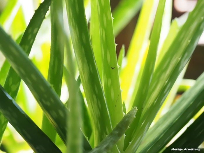72-aloe-sun-early-spring-030916_07