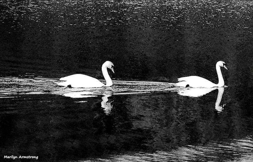 72-BW-Swans_05