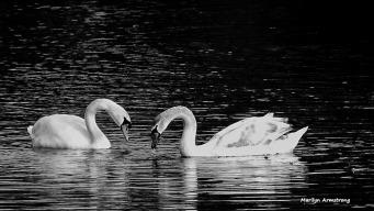 Swans on a dark pond