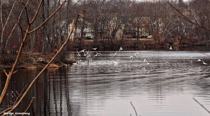 72-feed-birds-swans-mar-030816_042