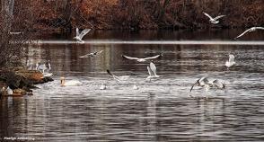 72-feed-birds-swans-mar-030816_048