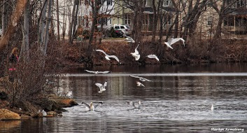 SWANS AND SEAGULLS ON WHITINS POND