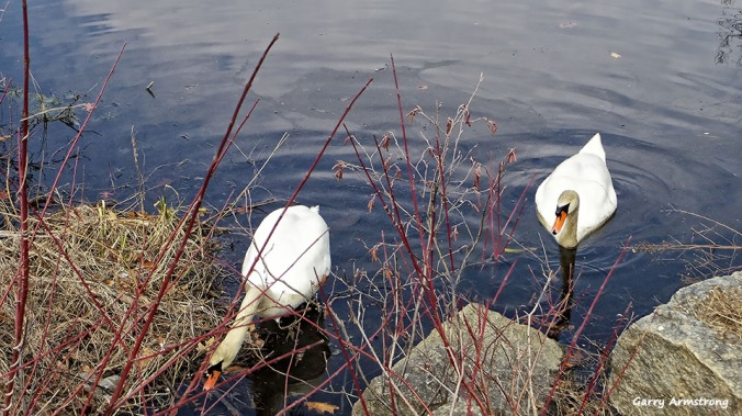 72-Swans-GAR-030816_001