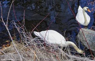 72-Swans-GAR-030816_007