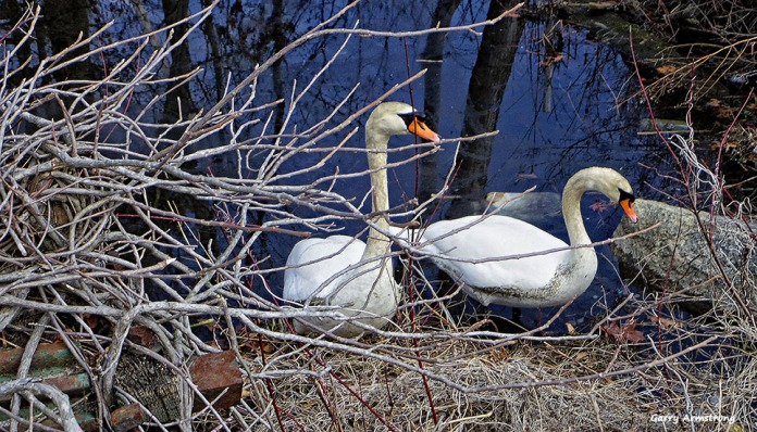 72-Swans-GAR-030816_017