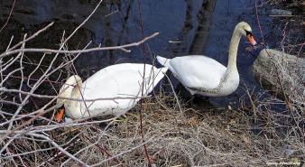 72-Swans-GAR-030816_019